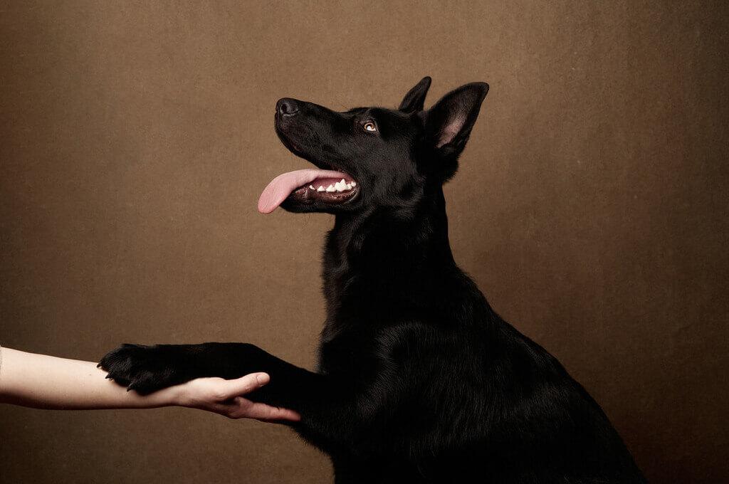 Perro negro adorable da la pata