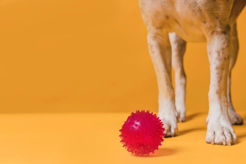 enseñar a un perro a traer la pelota