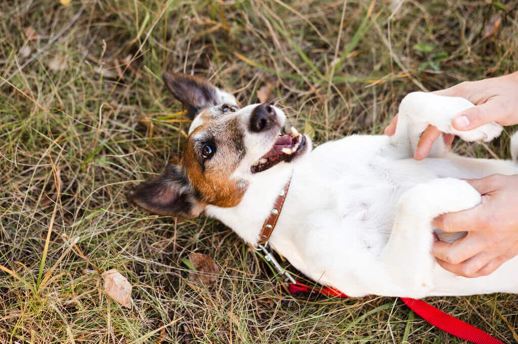 Jack Russell terrier rodando