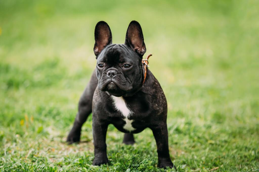 10 Razas de perros pequeños que no crecen
