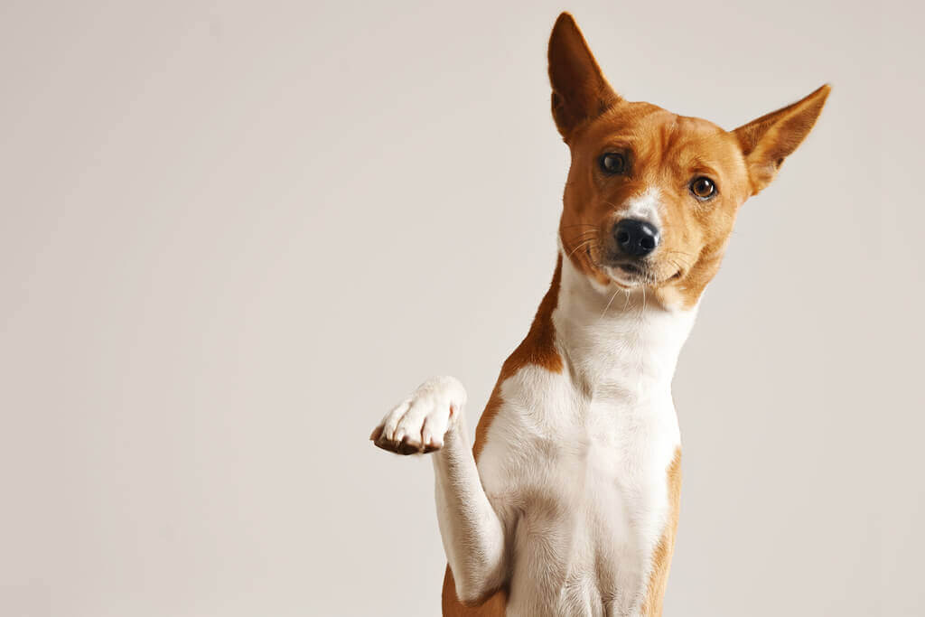 This image has an empty alt attribute; its file name is friendly-smart-basenji-dog-giving-his-paw-close-up-isolated-on-white-1.jpg