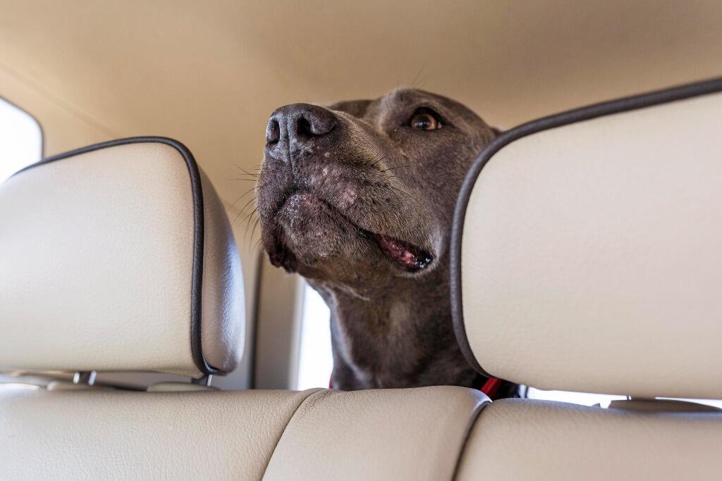 Cómo evitar que mi perro se maree en el auto
