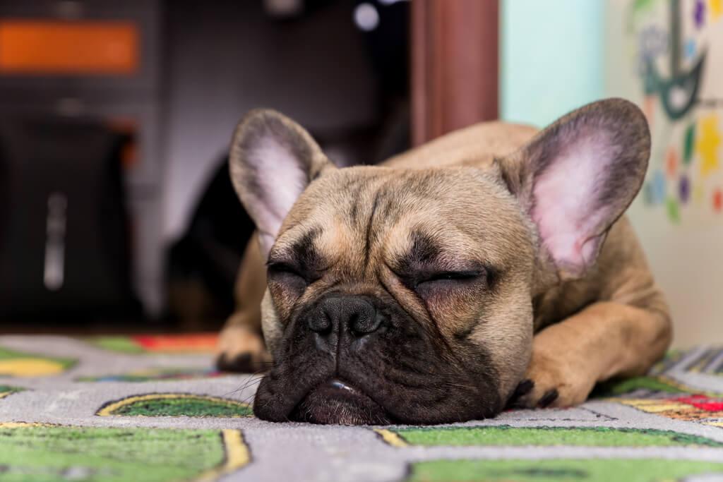 Perro duerme roncando