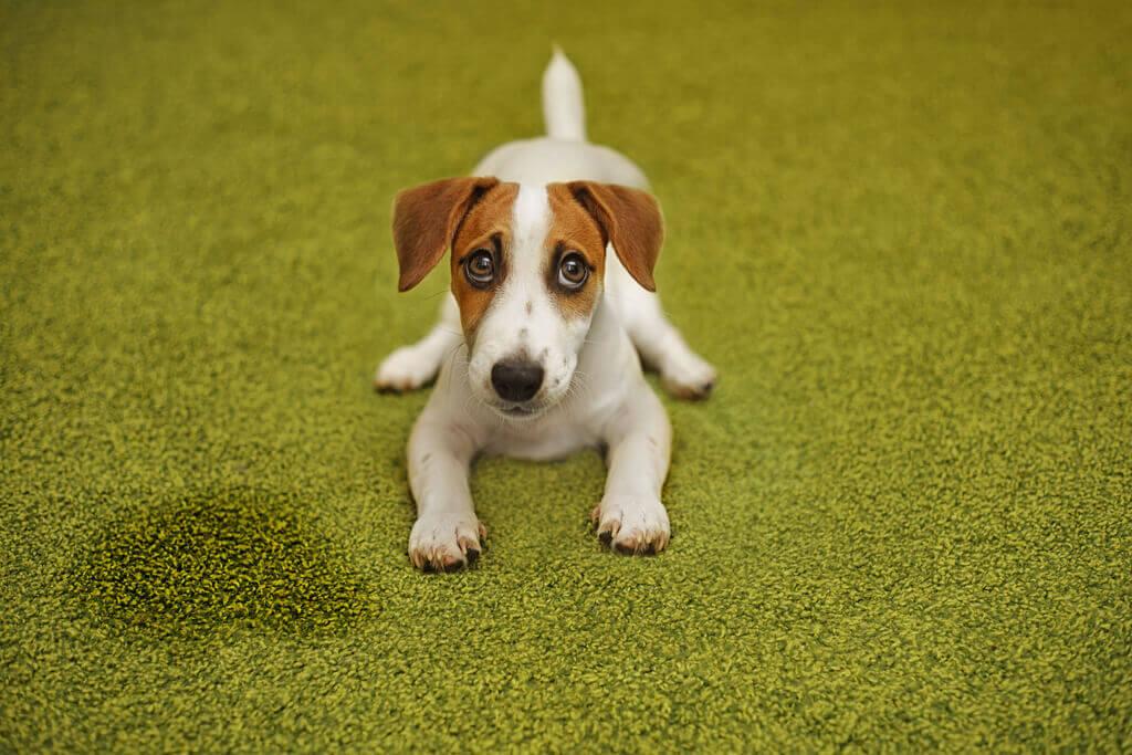 jack russell terrier orino la alfombra