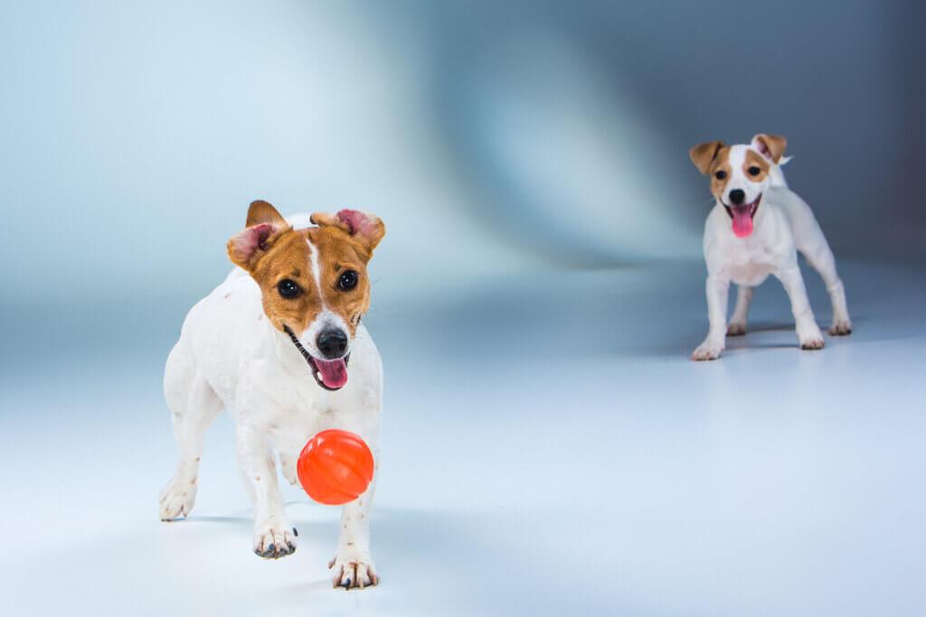 Cómo enseñar a un perro a soltar la pelota