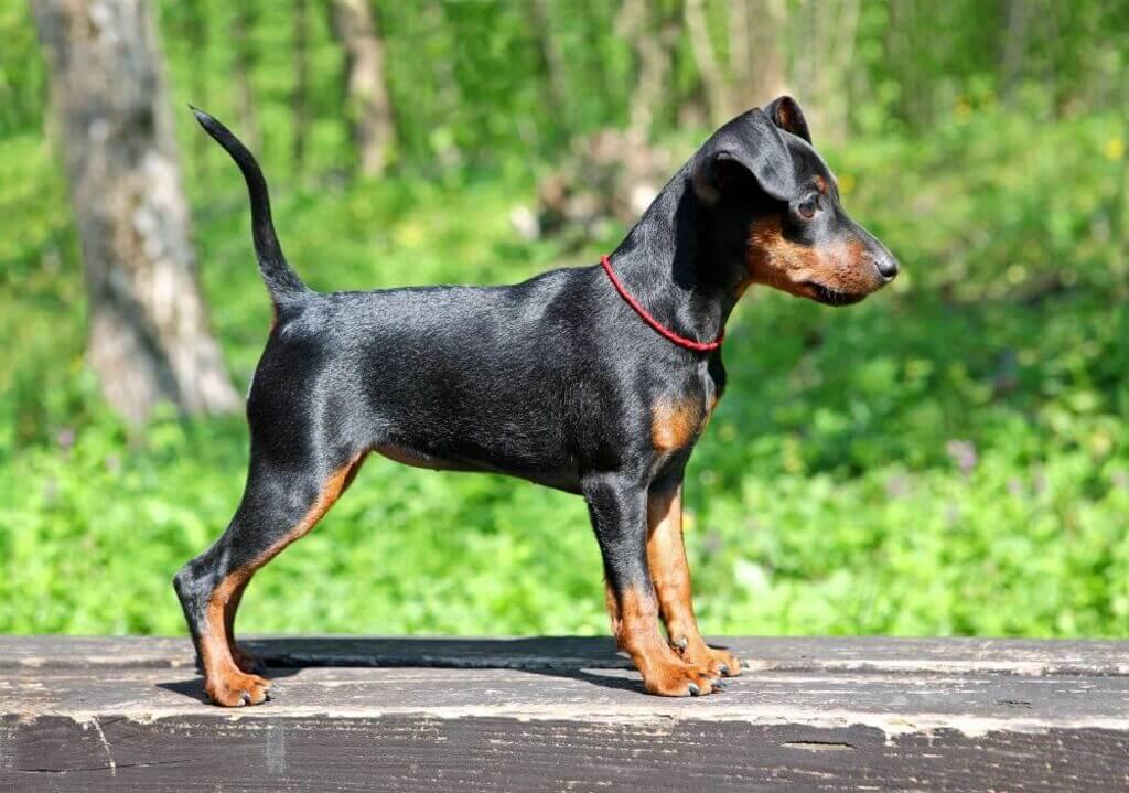 Cómo entrenar a tu perro pincher