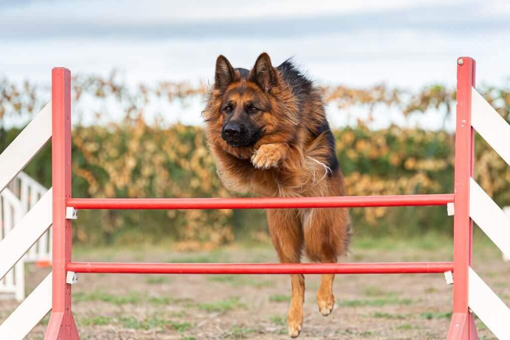 Cómo enseñar a saltar a un perro