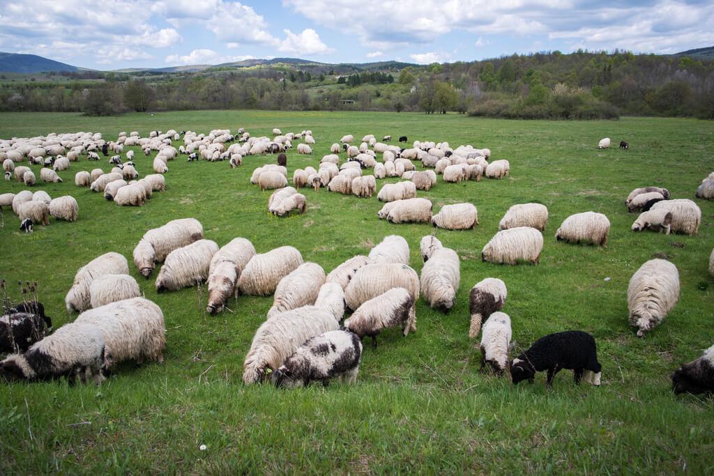 Cómo adiestrar un border collie para ovejas