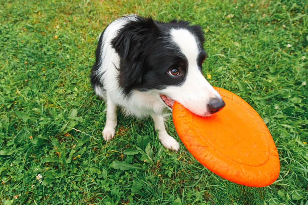 Cómo enseñar a mi perro a jugar frisbee