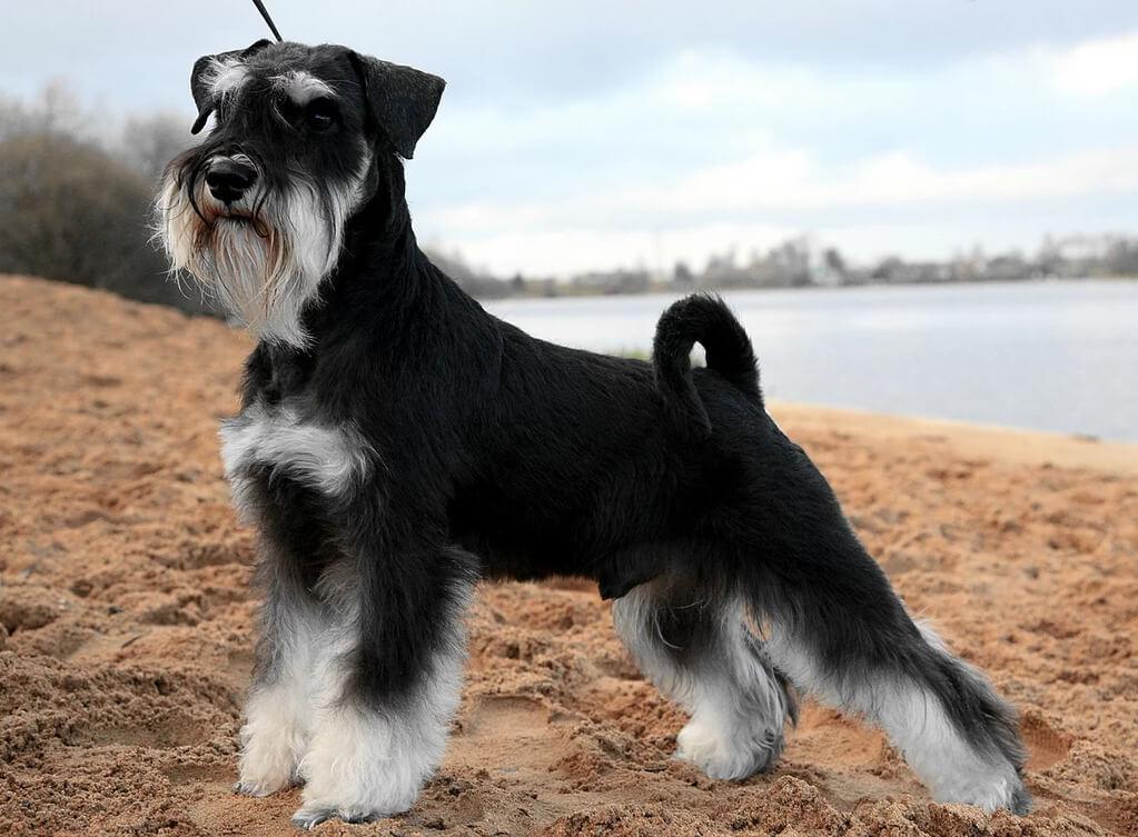Razas de perros más inteligentes y obedientes