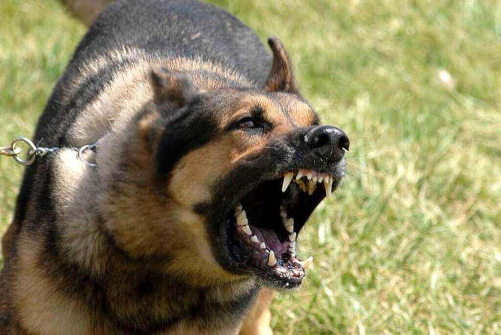 Cómo entrenar a un pastor alemán para guardia y protección