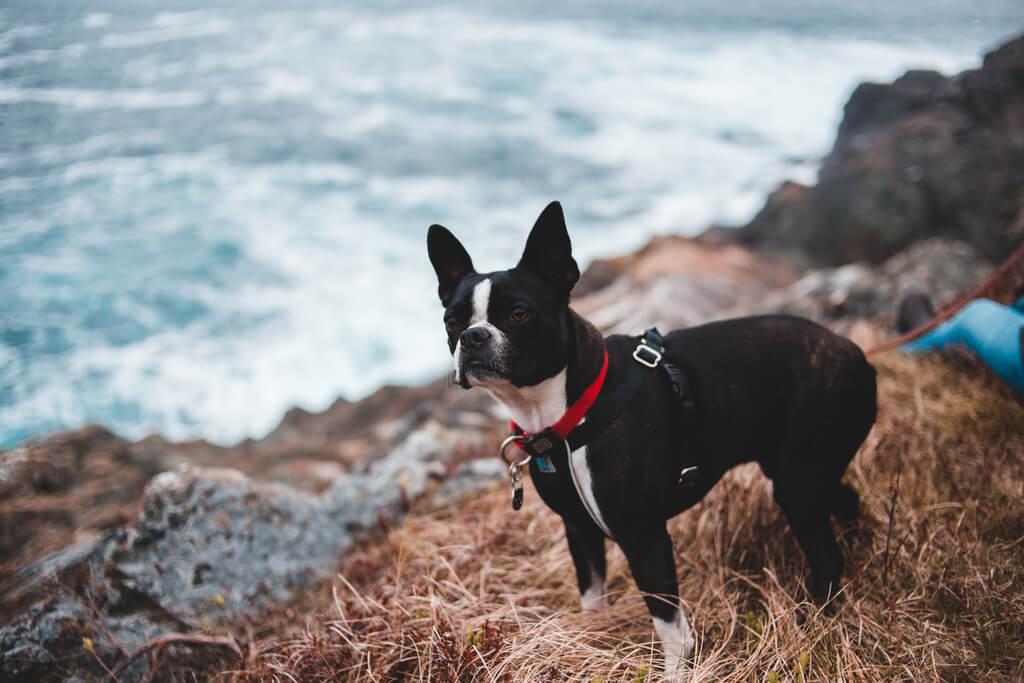 Cómo entrenar a un boston terrier