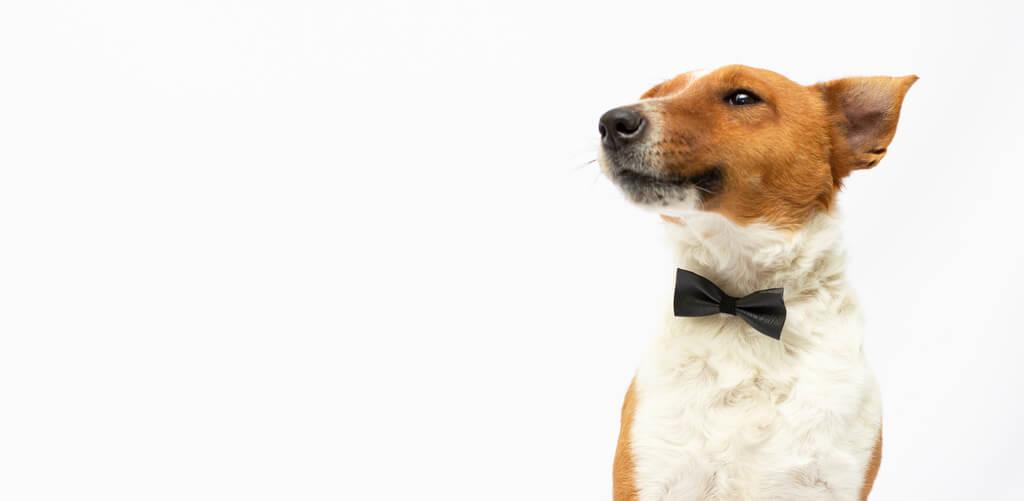 Cómo adiestrar a un fox terrier
