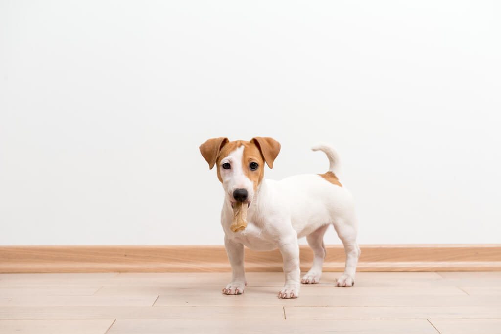 Cómo entrenar un perro Jack Russell Terrier