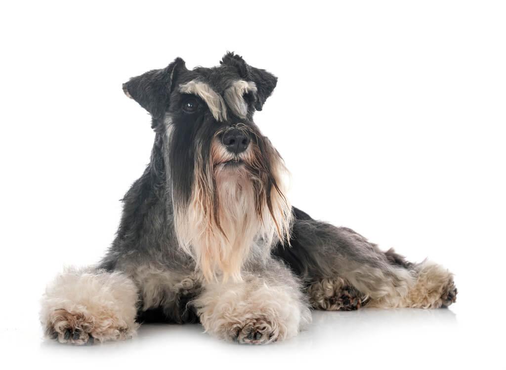 Cómo entrenar a un perro schnauzer
