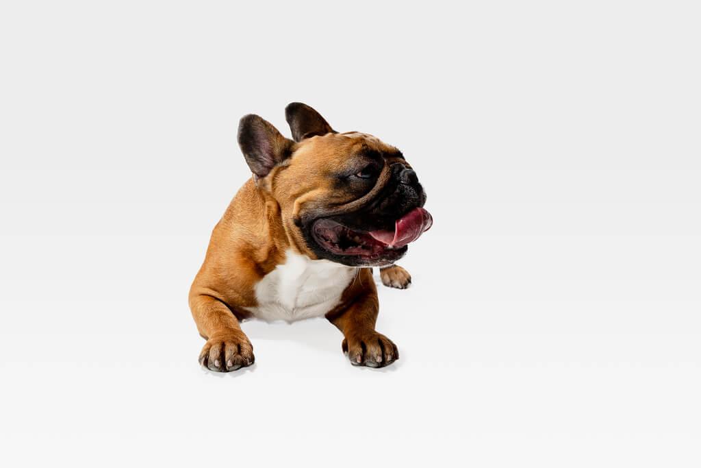 Adiestramiento de bulldog