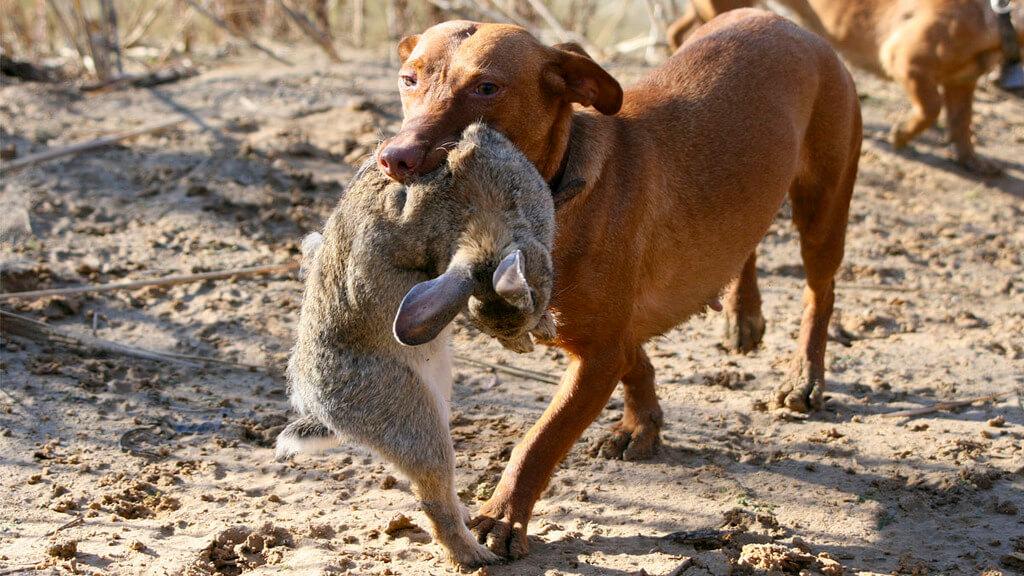 Entrenar perros para cazar conejos