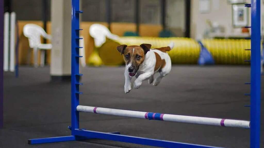Razas de perros para agility