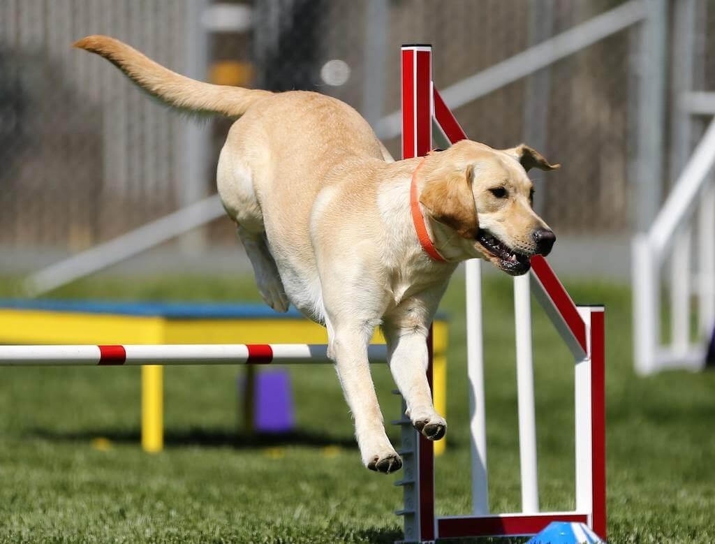 Cómo hacer un circuito de entrenamiento para perros