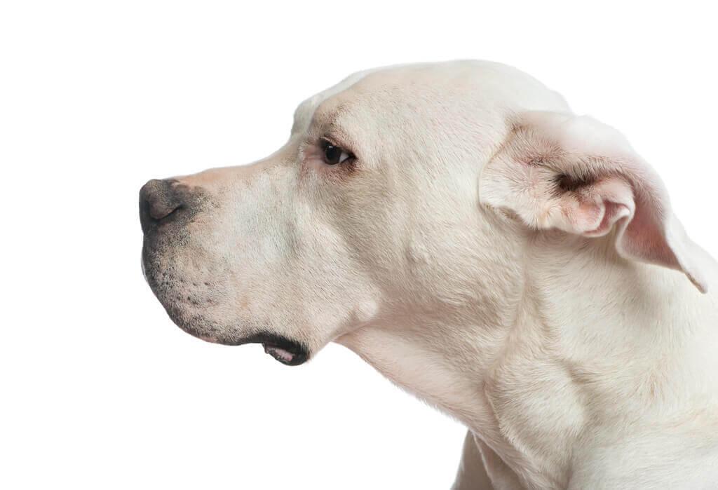 Requisitos para tener un perro de raza peligrosa en Colombia