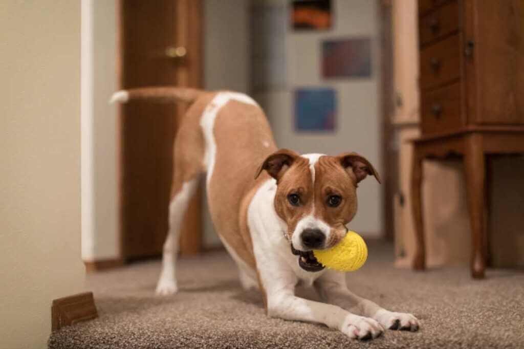 Mi perro corre como loco por toda la casa