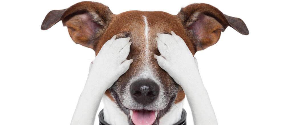 Cómo enseñar a mi perro a taparse los ojos