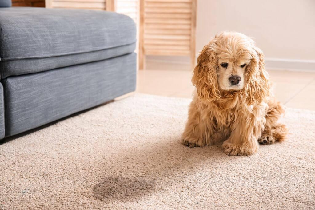 Cómo evitar que mi perro orine en la alfombra