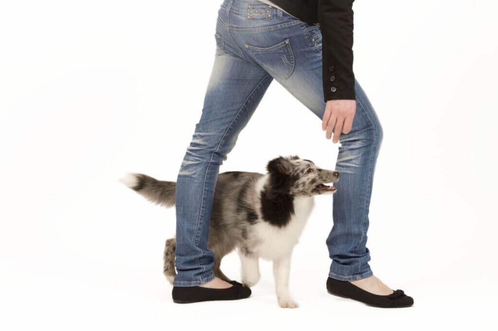 Cómo enseñar a tu perro a hacer el 8