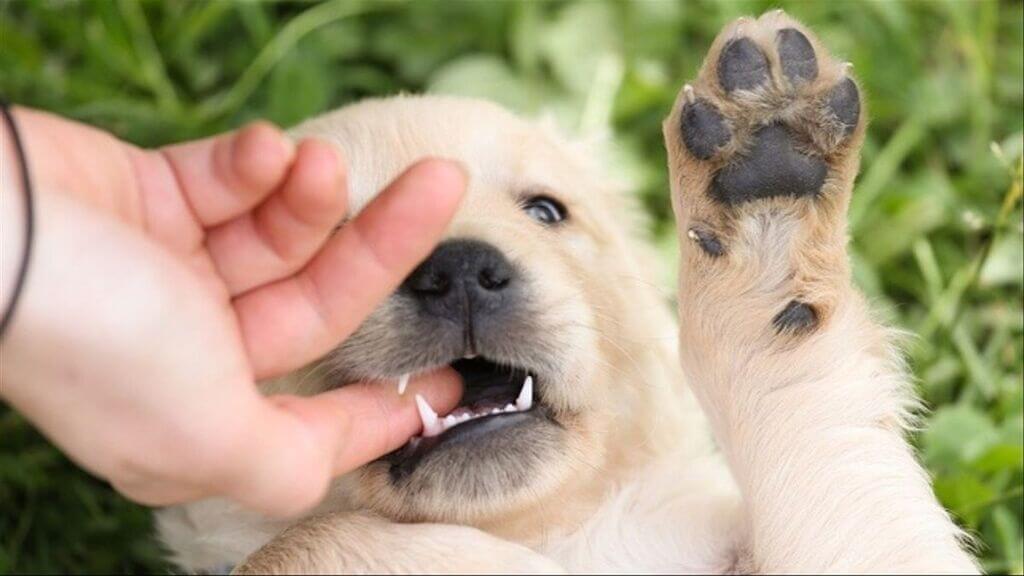 ¿Por qué mi perro me muerde las manos cuando lo acaricio?
