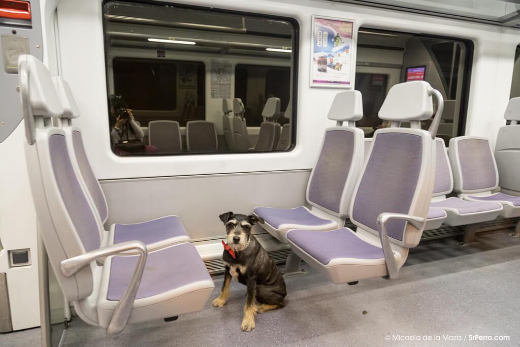 Cómo enseñar a tu perro a viajar transporte público