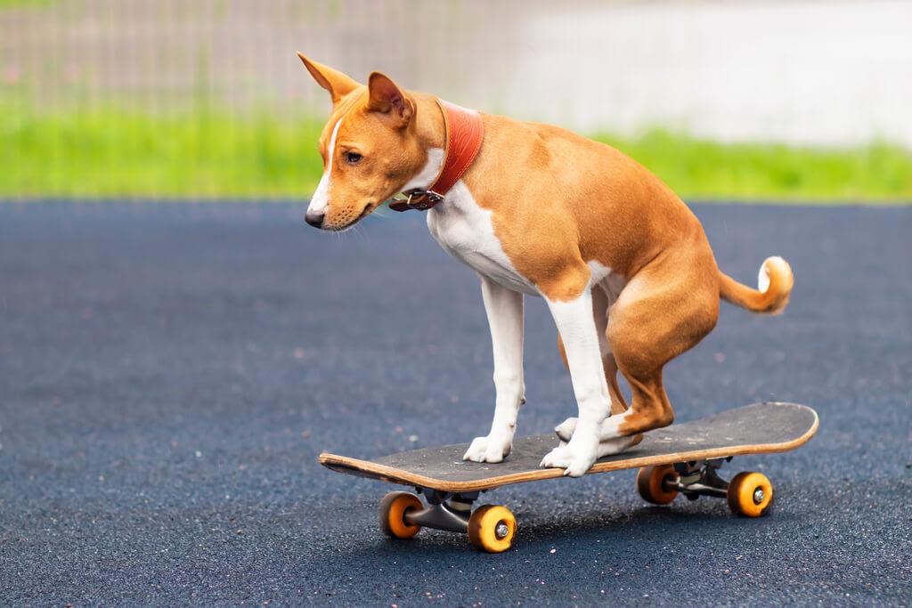 Cómo enseñar a un perro a andar en patineta