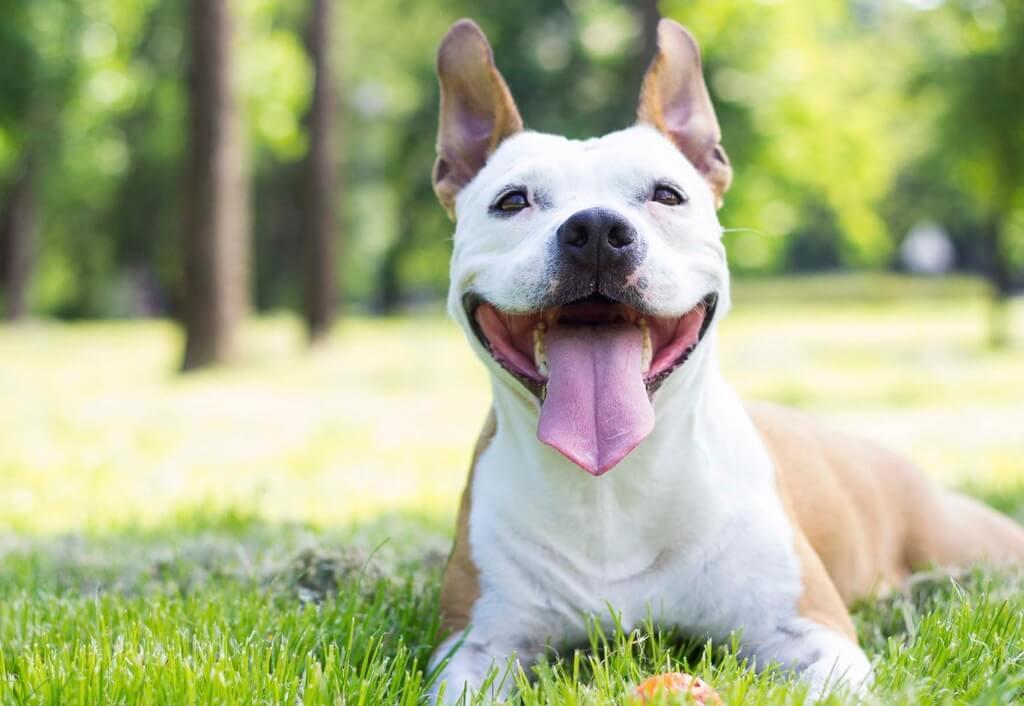 Cómo enseñar a sonreír a un perro
