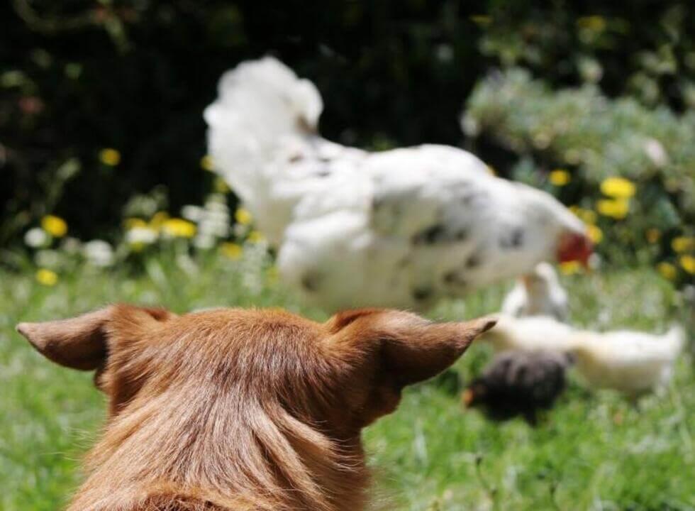 ¿Cómo evitar que mi perro mate gallinas?