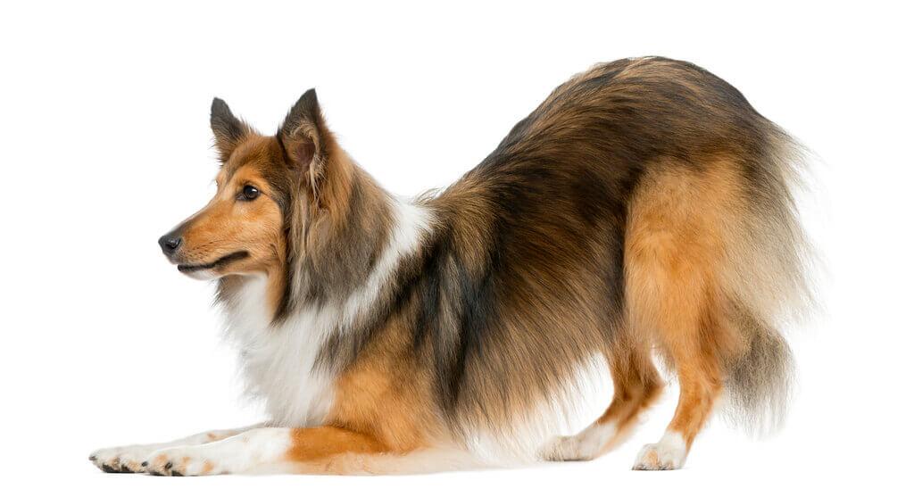 Enseñar a un perro a hacer la reverencia