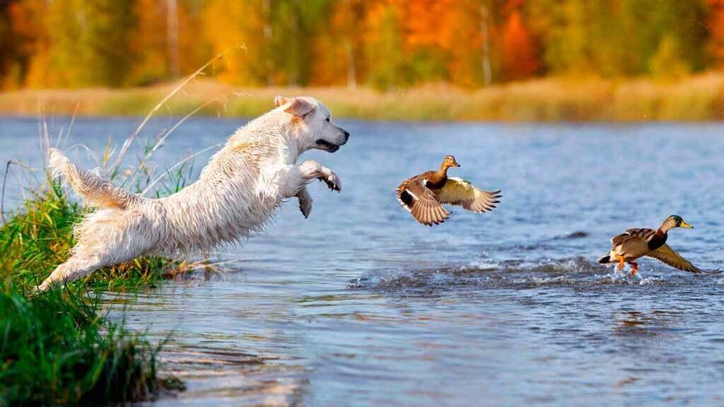 perro para el cobro en el agua