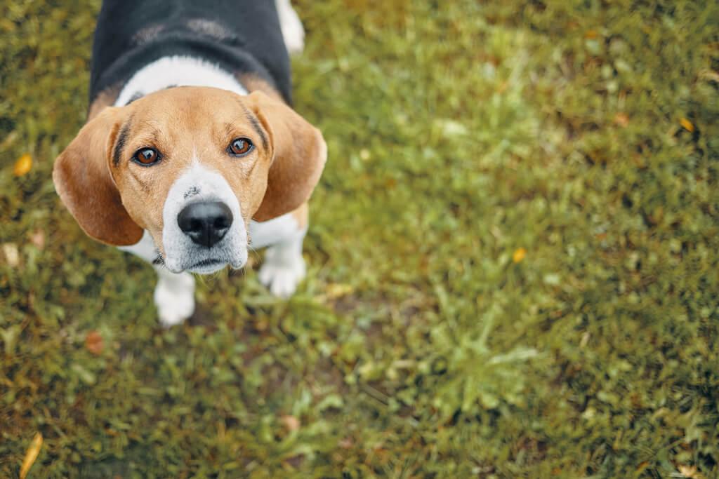 ¿Cómo entrenar perros sabuesos?