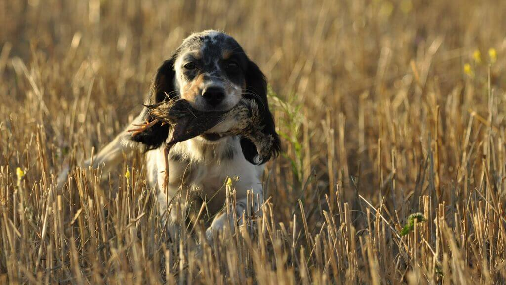 ¿Cómo entrenar a tu perro para cazar codornices?